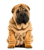Front view Shar pei puppy sitting (11 weeks old) isolated on whi