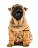 Front view of a Shar pei puppy, open mouth, Yawning,  sitting (1