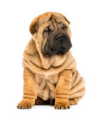 Front view of a Shar pei puppy sitting with eyes closed (11 week
