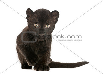 Black Leopard cub approaching, 3 weeks old, isolated on white