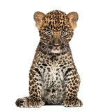 Spotted Leopard cub sitting - Panthera pardus, 7 weeks old, isol