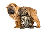 Shar pei puppy standing over a spotted Leopard cub, isolated on