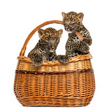 Two Spotted Leopard cubs in wicker basket, isolated on white