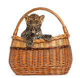 Spotted Leopard cub in wicker basket, isolated on white