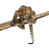 Spotted Leopard cub facing and prowling on a branch, 7 weeks old
