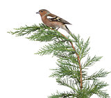 Male Common Chaffinch - Fringilla coelebs perched on a green bra