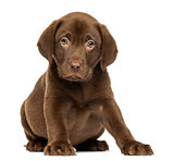 Labrador Retriever Puppy sitting and facing, 2 months old, isola