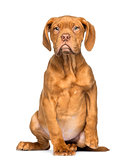 Dogue de Bordeaux Puppy sitting and facing, 4 months old, isolat