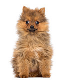 Smiling Pomeranian Puppy, 2 months old, sitting, isolated on whi