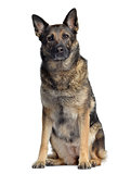 German shepherd, 4,5 years old, sitting and facing, isolated on