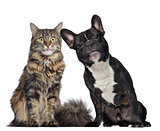 Maine coon and French Bulldog sitting next to each other, isolat
