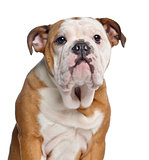 Close-up of an English Bulldog, 5 months old, isolated on white