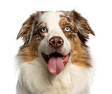 Close-up of a Australian Shepherd, 2 years old, panting, isolate