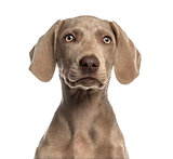 Close-up of a Weimaraner puppy facing, 2,5 months old, isolated