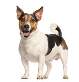 Jack Russell Terrier, 3 years old, standing and panting, isolate