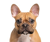 head of a French Bulldog, isolated on white