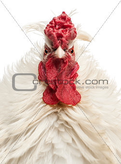 Close up of a curly feathered rooster looking at the camera, iso