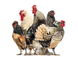 Group of hens and roosters, isolated on white