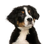 close-up of a Young Bernese Mountain dog, 3,5 months old, isolat