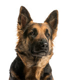 Close-up of a German shepherd looking away, 4 years old, isolate