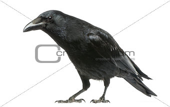 Carrion Crow with inquisitive look, Corvus corone, isolated on w
