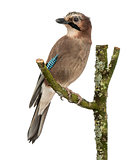 Eurasian Jay perching on a branch, Garrulus glandarius, isolated