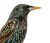 Close-up of a Common Starling, Sturnus vulgaris, isolated on whi
