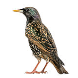 Rear view of a Common Starling, Sturnus vulgaris, isolated on wh