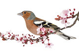 Common Chaffinch perched on branch, singing, isolated on white -