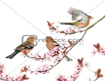 Group of Common Chaffinch perched on a Japanse cherry branch, is