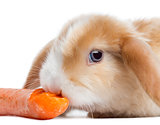 Close-up of a Satin Mini Lop rabbit eating a carrot, isolated on