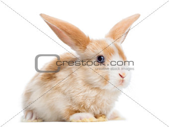 Satin Mini Lop rabbit ear up, lying, isolated on white