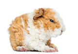 Baby Alapaca Guinea Pig, 1 day old, isolated on white