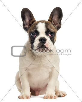 French Bulldog puppy, sitting, looking at the camera, 4 months o