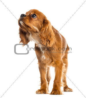 Cavalier King Charles Spaniel puppy standing, looking up, 5 mont