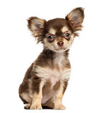 Chihuahua puppy sitting, looking at the camera, isolated on whit