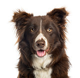 Close-up of a Border Collie panting, 9 months old, isolated on w