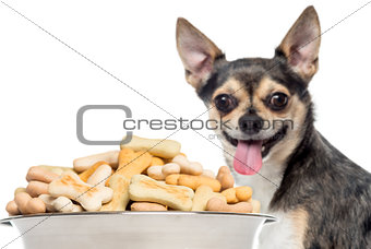 Close up of a Chihuahua panting, standing behind of a full dog b