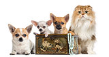 Group of Chihuahuas in a vintage box with Highland fold, isolate