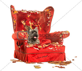 Cairn Terrier panting, lying on a destroyed armchair, isolated o