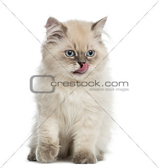 British Longhair kitten, sitting, licking, 5 months old, isolate