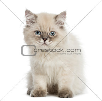 British Longhair kitten, sitting, staring at the camera, 5 month
