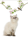 British Longhair kitten looking up at a bird perching on a flowe