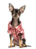 Chihuahua wearing a check shirt, 18 months old, isolated on whit