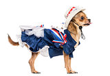 Side view of a Patriotic Chihuahua standing, sticking the tongue
