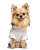Dressed up Chihuahua sitting, looking at the camera, isolated on