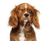 Close-up of a one-eyed Cavalier King Charles puppy, 4 months old