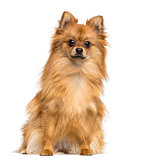 German Spitz sitting, looking at the camera, 1 year old, isolate