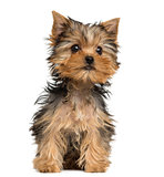 Yorkshire Terrier puppy sitting, 3 months old, isolated on white