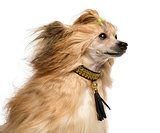 Close-up of a Chinese Crested Dog, 30 months old, isoalted on wh